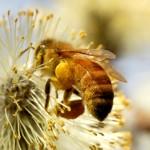 Bina försvinner i världen – 70% av allt vi äter är pollinerat av insekter
